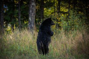 revelstoke, bison, lodge, wedding, weddings, bear